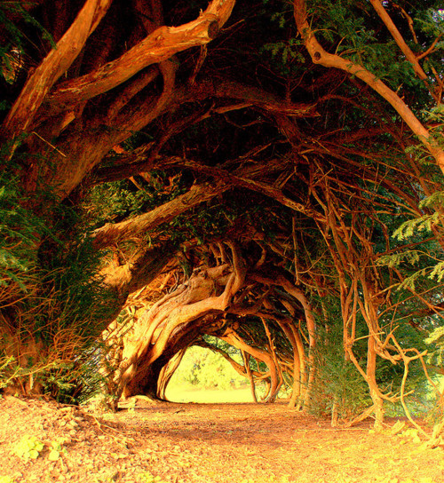 Welsh Yew Trees