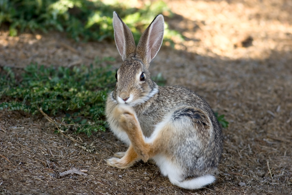 Rabbits Foot